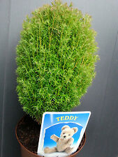 Lebensbaum Teddy Thuja occidentalis Teddy 15-20cm Zwergsorte