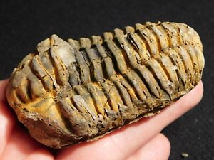 A Big! Devonian Era Flexicalymene sp. Trilobite Fossil From Morocco! 156gr