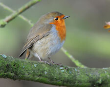 Robin in Oak Tree GREETINGS CARD Steve Greaves Photo Print  Bird Art  Christmas