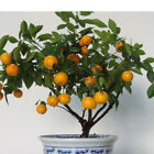 30pcs Edible Fruit Mandarin Citrus Orange bonsai tree Seeds NoCVAO