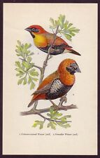 1950s Original Vintage Crimson Crowned Weaver Grenadier Weaver Bird Art Print