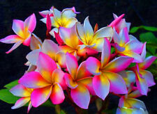 """""""ROUGLINE"""" FRAGRANT PLUMERIA 7-12 INCHES HAVE ROOTED WITH CER. EASY TO PLANT"""