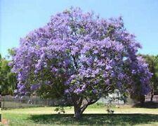 Argentinischer Palisander: blaue-violette Glockenblüten