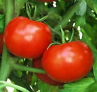 Tomato- Rutgers - 50 Seeds -