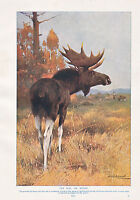 1910 Naturale Storia Stampa Double Sided ~ Alce Moose/Capriolo ~ Lydekker