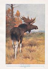 1910 NATURAL HISTORY PRINT DOUBLE SIDED ~ ELK MOOSE / ROEBUCK ~ LYDEKKER