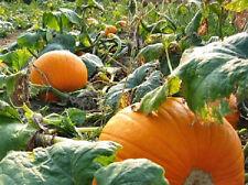 50 Big Max Pumpkin Seeds 100 Pound Pumpkin
