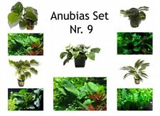 Anubias Set 4 versch. Anubias + 1 Mutterpflanze Aquariumpflanzen Tropica Nr.9