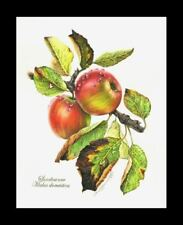 Grabado Botánico Apple Branch me garmashova