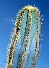 PILOSOCEREUS MAGNIFICUS @@ exotic color columnar rare cacti cactus seed 10 SEEDS
