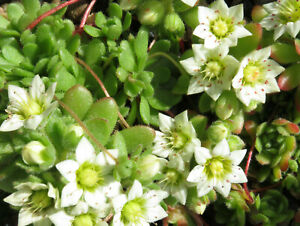 Rosularia Sedoides 'Alba' -Hardy Rockery Container Succulent Plant in 9cm Pot