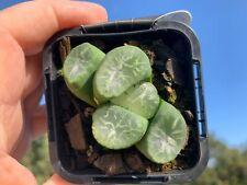 HAWORTHIA MAUGHANII  'Jelly bean Plant Succulent plant 6cm COLLECTORS*