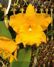 Rlc Yellow Diamond 'Nn', orchid plant Shipped In Pot