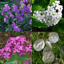 LUNARIA biennis Mix Honesty Seeds (F 484)