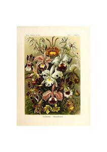 Orchids Botanical Poster | Marine life Illustration Art Ernst Haeckel,1904