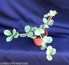 """PEPEROMIA HOPE, ROUND LEAVES, UNUSUAL!  SHIPPED IN 2"""" POT"""