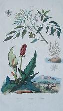 Gravure en couleur du XIXè s. Gomart. Gorgone Corail Gouet Arum 1837. Botanique
