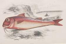 1865 CROMOLITOGRAFIA FISHING COUCH TRIGLIA DI SCOGLIO