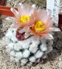 Pediocactus winkleri RP132,seeds10 pcs
