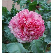 Poppy - Papaver Som. – Flemish Antique 50 seeds