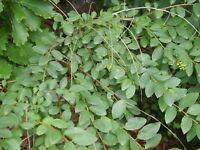 Beilholz - Securinega suffruticosa - Yi Ye Qiu - 10+ Samen - Saatgut - Seeds