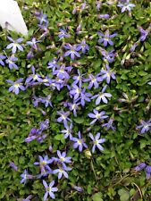 """Isotoma Fairies Footsteps  Alpine 2 FOR £6.99 3.5"""" pot Plant"""