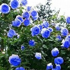 100 Colorful Rosa multiflora Seeds Climbing Roses Changmi Garden Flowers