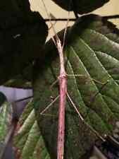 "Eggs of Planudes taeniatus ""Itatiaia"" x 30/ stick insect / new species"