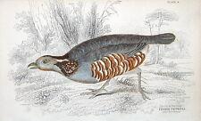 ROCK PARTRIDGE, PERDIX MPETROSA Jardine antique hand col. bird print 1834