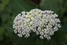Asclepias variegata, Redring Milkweed 25 seeds