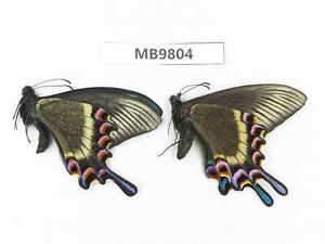 Butterfly. Papilio maackii ssp. Liaoning, Shenyang. 1P. MB9804.