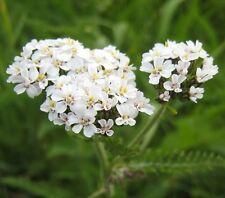 White Yarrow / Achillea millefolium / Wildflower and Garden Plant / 1000 seeds