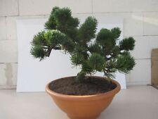 Pinus mugo Jacobsen - zwergige Latschenkiefer Jacobsen