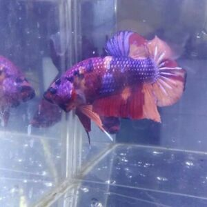 Betta Fish Giant Multicolor,Redkoi F/M