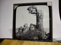 c1910 - 14 x Original BIRD PHOTO (Mostly At Nest) Lantern Slides ALL SHOWN L@@K