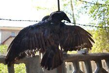 Stuffed Raven imitation flight  Taxidermy