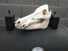 Big Arizona wild hog boar genuine skull
