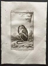 1800 - Buffon - La guenon à museau allongé [Singes] - Gravure zoologie