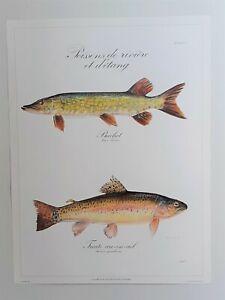 Poster Affiche brochet truite - reproduction planche ancienne
