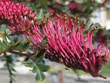 FANFARE Grevillea native fast growing groundcover red flowers plant in 140mm pot