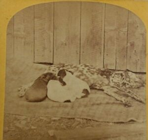 Antique Stereoview, Kilburn Brothers, Dog Nursing Puppies, 'Happy Family'