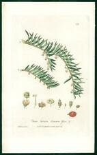 1837 Antique Botanical Print - TAXUS BACCATA Common Yew (222)