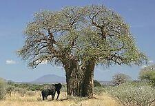 15 graines Adansonia Digitata Baobab Africain