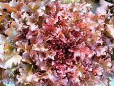 1750 Graines BIO de Laitue à Couper Feuille de Chêne Rouge Salade