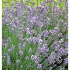 Herb Seeds - Lavender English - 1200 Seeds