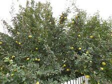 Quitten Apfelquitten - 5 kg - frisch vom Baum