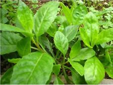 8 unrooted cuttings of Longevity Spinach (Gynura procumbens)
