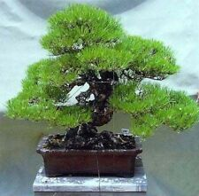 Pinus thunbergii - Japanese Black Pine - 10 Seeds