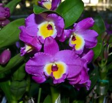 "Nobile Dendrobium Bridal Red 'Lady Luck' in 2""Pot ~Blooms Next year~"