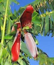 BANANA - Musa paradisiaca 10 seeds